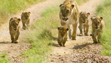 Only Home of Asiatic Lion Sasan Gir